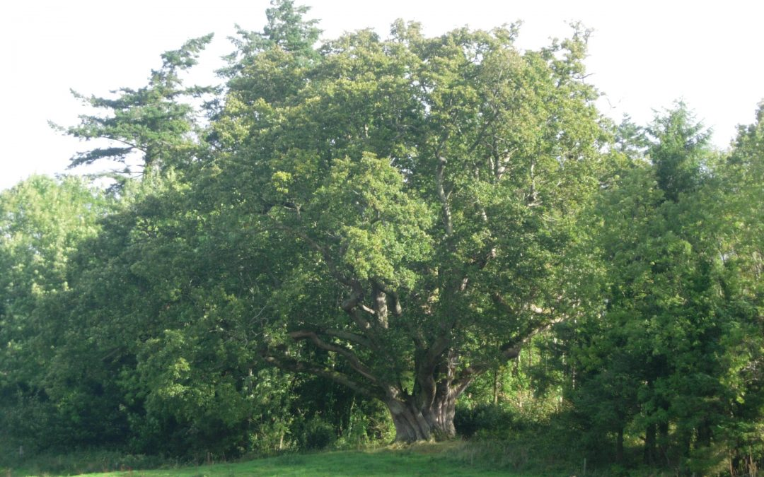 Brian Boru Oak Tree, Raheen Woods, Tuamgraney